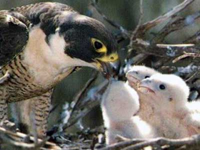 midwest peregrine society